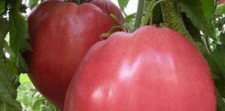 BG доматът е най-вкусен в целия свят! Ето на какво се дължи уникалният вкус