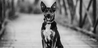 Куче извървя 300 километра, за да се върне при момичето, което му спаси живота